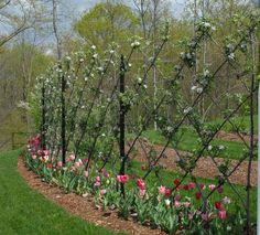 Inspiration for Fruit tree Esplanier around Potager (Belgian Fence ~ Pear or Apple)