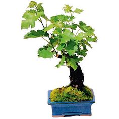 Living Grapevine Bonsai With Edible Grapes going to give this a try on my balcony garden