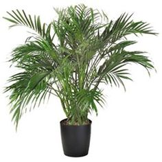 Palm Trees House Plant Identification on ivy house plant identification, bamboo house plant identification, tropical house plant identification,