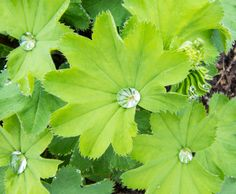 Leaves of Common Lady's Mantle with water drops on the upper surface