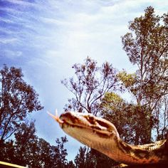 Trying to get a nice tree-line/blue sky picture & got photo-bombed by an Indian Python.