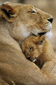 Animals :-) so cute a mother lion hugging her baby Also : Feel free to visit www.spiritofisadoraduncan.com or https://www.pinterest.com/dopsonbolton/pins/