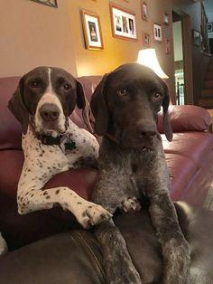 Gsp Puppies, Pointer Puppies, Pointer Dog, Cute Puppies, Cute Dogs, Weimaraner, Bluetick Coonhound, Best Dog Breeds, Best Dogs