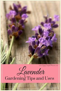 Lavender Plant Gardening Tips and Uses, and Lavender Plant Care