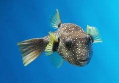 Learn more about the guineafowl puffer that is now on exhibit in Blacktip Reef! #AnimalUpdate