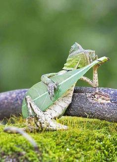 Este lagarto dragón fue fotografiado con una hoja en sus manos y se hizo viral en internet por parecer que está tocando una guitarra.