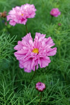 Cosmos Double Click Rose- S525 photo