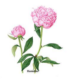 Peony. paeoniae radix. Botanical art, Watercolors