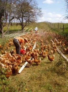 "What exactly are ""Free Range"" chickens: A Farmer explains. ~VERY interesting article! ;)"