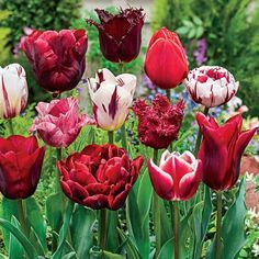 Shop hundreds of tulips for sale for fall planting. Breck's offers the best tulip bulb selection. Shop purple tulips, red tulips, yellow tulips, parrot tulips, darwinhybrid tulips and many more. Tulips Garden, Parrot Tulips, Red Tulips, Tulips Flowers, Love Flowers, Daffodils, Beautiful Flowers, Spring Flowering Bulbs, Spring Bulbs