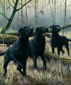 Labs: lovely study of three labrador retrievers in a woodland setting