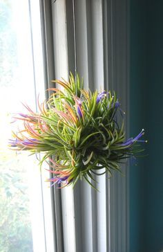 Air plant - hang in window with fishing line