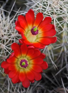 Claret Cup Cactus in bloom near Grand Junction