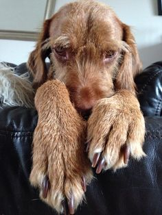 Wirehaired vizsla. Puppy Dogs