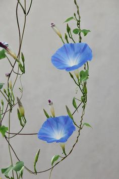 Grow more morning glory, especially the heavenly blue. I get the most compliments on mine as they cover our gazebo every summer. Blue Morning Glory, Morning Glory Flowers, Morning Glory Tattoo, Flowers Nature, Beautiful Flowers, Volubilis, Clematis, Flower Power, Planting Flowers