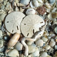 sand-dollars-seashells-florida-gulf-coast-1.jpg 400×400 pixels