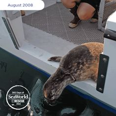 Taking the plunge back into the ocean, this harbor seal pup spent three weeks at SeaWorld recovering from serious wounds to his neck caused by discarded fishing line. #365DaysOfRescue