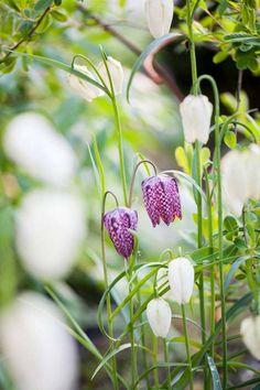 Kungsängslilja är en favorit som Victoria planterar ut från kruka – då tar de sig oftast bättre än när man sätter ut lökar.