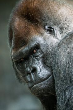 Western Lowland Gorilla. Not sure he trusts me!