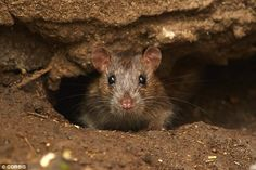 Large Brown Rat | Rat numbers could DOUBLE: Decline of large animals in wild areas has ...