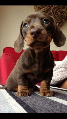 Chocolate  Tan Dachshund puppy