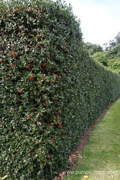 A beautiful holly hedge Evergreen holly makes an excellent hedge that looks good all year round Holly provides food and shelter for birds and other wildlife If youre thin. Garden Shrubs, Garden Plants, Garden Landscaping, Front Gardens, Outdoor Gardens, Indoor Palms, Bottle Garden, Garden Park, Garden Borders