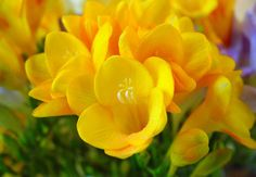 Native to South Africa, many European gardeners voted for freesias. Because of their charming & fruity scent— a fragrance like altar wine, innocent & pleasing for senses. *Choose freesias in white or yellow color (most fragrant).