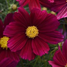 Cosmos Seeds 40 Top Cosmos Annual Flower Seeds Annual Flowers Cosmos Flowers Flower Seeds