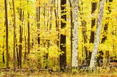 #Fall #Yellow #Birch #Leaves in Northern #Wisconsin at the height of leaf season in Menocqua. Artwork by D. Perry Lawrence. Rapid Delivery on all prints and cell phone cases by D. Perry Lawrence. Full Portfolio: DPerryLawrence.com