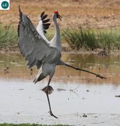 https://www.facebook.com/WonderBirds-171150349611448/ Sếu Brolga/Sếu Úc; Họ Sếu-Gruidae; bắc và đông-bắc Úc || Brolga/Australian crane (Grus rubicunda); IUCN Red List of Threatened Species 3.1 : Least Concern (LC)(Loài ít quan tâm)