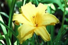 Day Lily - non toxic to pups, but toxic to cats