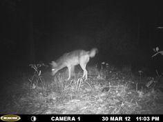 Coyote caught on trail cam. Alabama wildlife, outdoors, hunting, Alabama hunting. http://ithappensinalabama.com