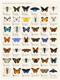 science-junkie:  An identification chart of 42 North American butterflies. By artist Eleanor Lutz.You can find the full sized GIFhereor pick up a poster for your roomhere.