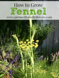 How to Grow Fennel. Watch that it doesn't get over-mature and tough. Harvest as soon as a solid base forms.