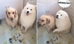 When a Chinese owner asked her two pet dogs who had made a mess on the kitchen floor, her Samoyed was quick to point its paw at its Golden Retriever friend.