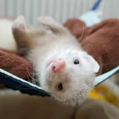 Super Cute Animals, Cute Funny Animals, Cute Baby Animals, Animals And Pets, Cute Creatures, Beautiful Creatures, Pet Ferret, Long Cat, Cute Ferrets
