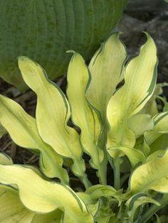 Hosta - Ripple Effect (Funkia, Plantain Lily) Shade Garden Plants, Hosta Plants, Shade Perennials, Foliage Plants, Plantain Lily, Pineapple Planting, Hosta Varieties, Sempervivum, Hosta Gardens