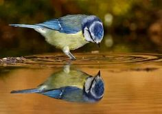 mirror water reflection birds animals nature other Pretty Birds, Love Birds, Beautiful Birds, Beautiful Things, Color Splash, Fear Of Flying, Blue Tit, Water Reflections, True Nature