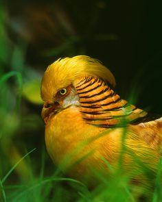 Birds - Golden pheasant, China - Jim Zuckerman Photography