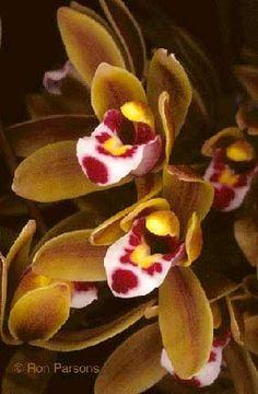 Cymbidium floribundu
