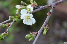 Versoja Vaahteramäeltä: Prunus cerasus, Karperön kirsikka Prunus, White Flowers, Garden, Garten, Gardens, Peach, Cherry, Tuin, Yard
