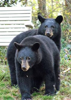 It's not uncommon to see bears in your backyard around Asheville. These were spotted near the Grove Park Inn neighborhood.