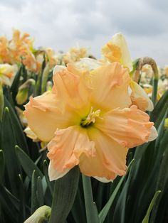 Daffodil Waltz