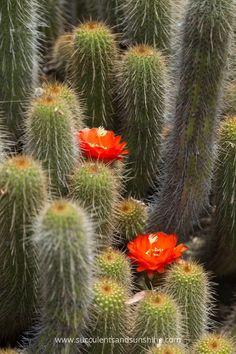 A few cacti blooms hiding between columns