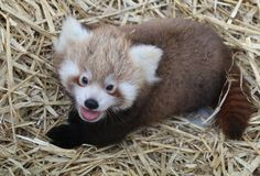 Photo and Video Credits: Paradise Park Wildlife Sanctuary Paradise Park Wildlife Sanctuary, in Cornwall, UK, recently gave their new Red Panda cub his first vet check. The cub's keeper, Becky Waite, r