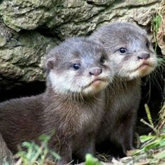 Young Otters (81 pieces)