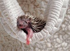 Una cría de erizo asoma entre los pliegues de una toalla en un centro de recuperación de animales. Via NG.es