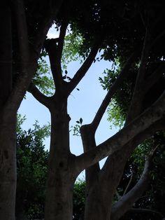 Ficusbaum von innen Foto von Hansjörg Renner