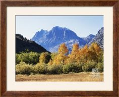 California, Sierra Nevada, Inyo Nf, Fall Colors of Aspen Trees Photographic Print by Christopher Talbot Frank at Art.com