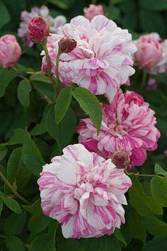 'Georges Vibert' (1853) Gallica. Love this rose! | SIMOLAN ROSARIO